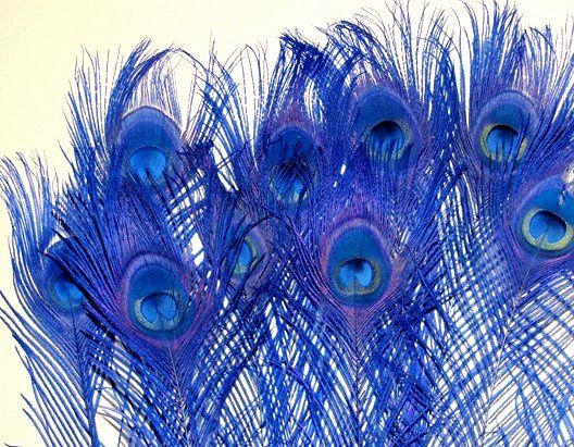 """peacock feathers Royal blue Bleached & dyed Available in 10-15""""  length (small to medium sized eyes)..."""