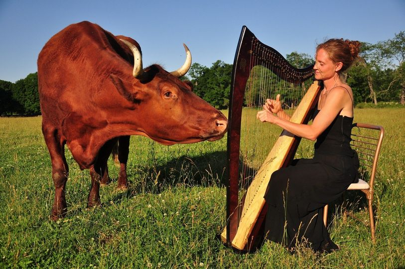 Beau the ox, mesmerized by harp music