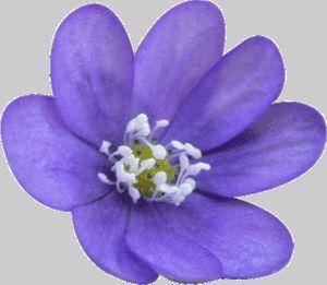 29683d28aee112e0 1520850398 0968975ebfa7aa41 1520850400728 5 flowers liverleaf