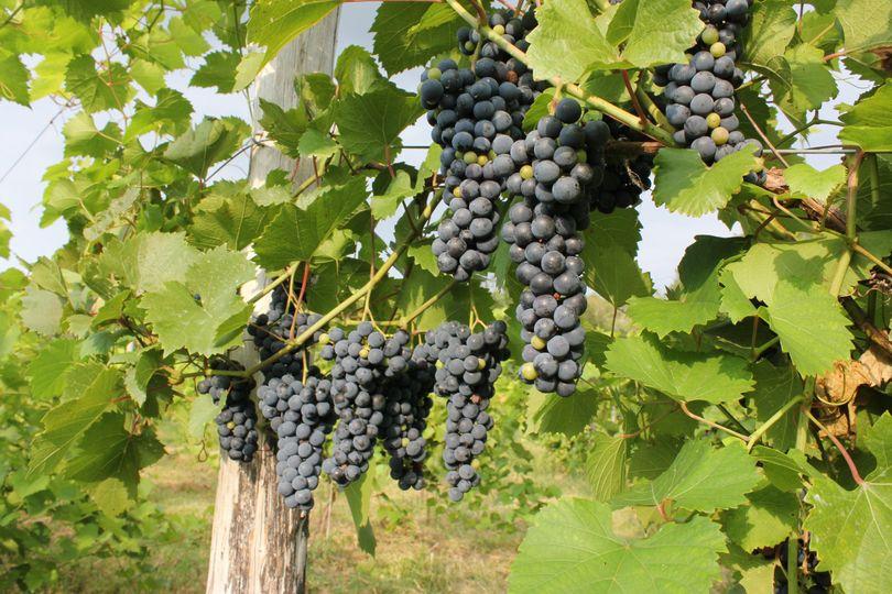 Grapes amd vines