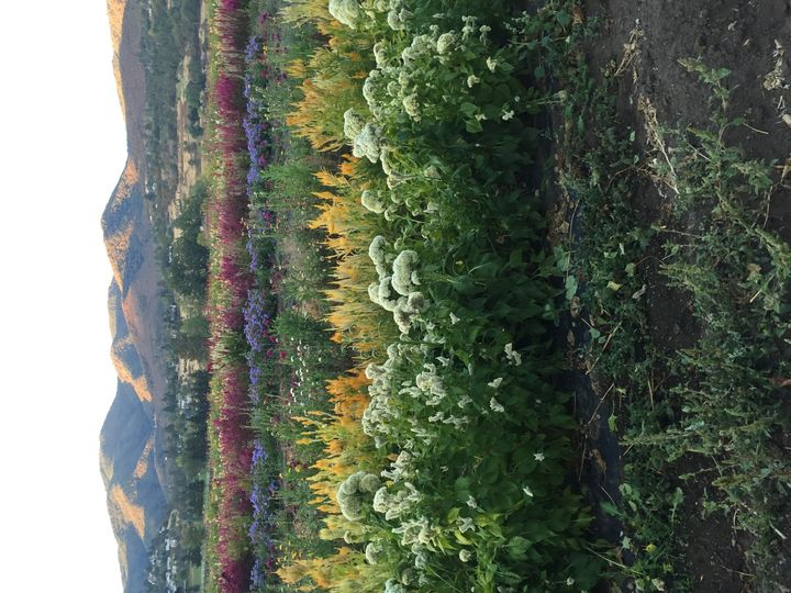 oops! sideways image of our flower field in September