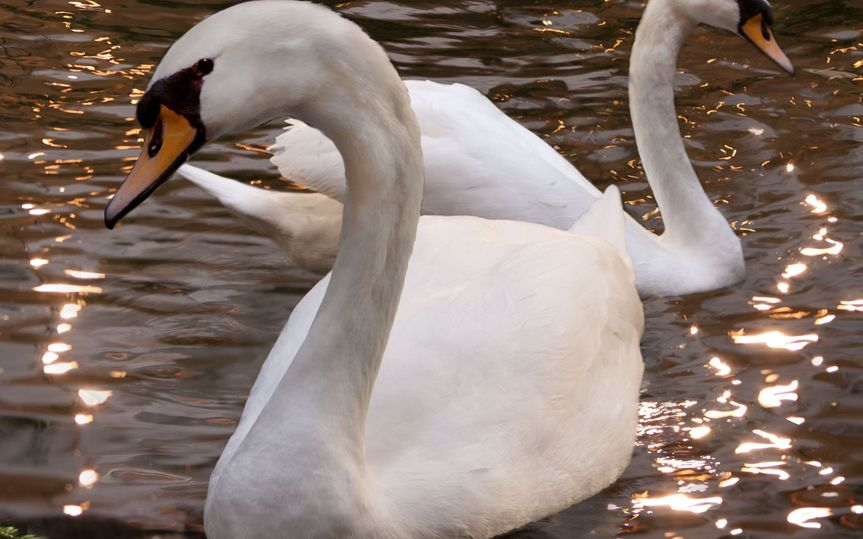 royal swans pa gram embassy suites houston galleir