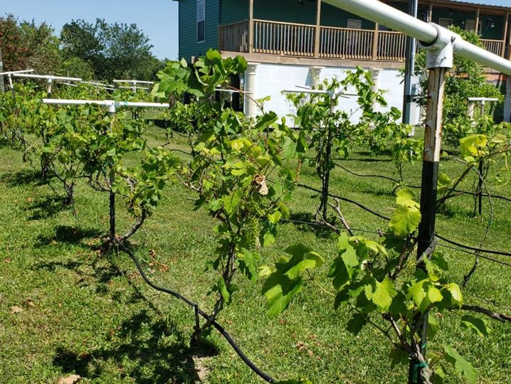 Our small vineyard