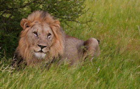 Tmx 1450618268092 Lion 2 Walking Safari Alexandria wedding travel