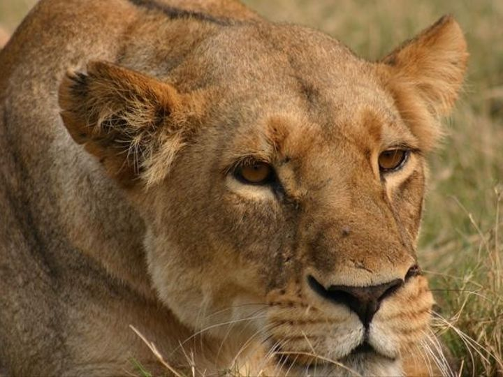 Tmx 1450622456088 Imgfemale Lion Hunting In The Delta Moremi Game Re Alexandria wedding travel