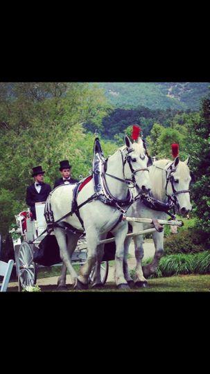 White Percheron Horses
