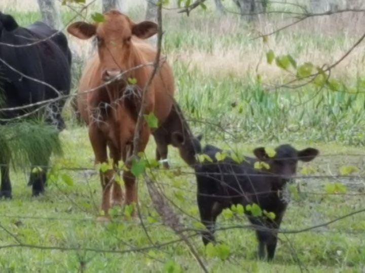 Tmx Onlooking Cows 3 2019 51 1039255 1558024832 Ocklawaha, FL wedding venue