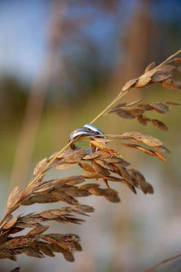 Bands in sea oats