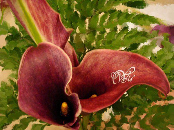 Tmx 1320166149538 MiniCallaburgundy Babylon wedding florist