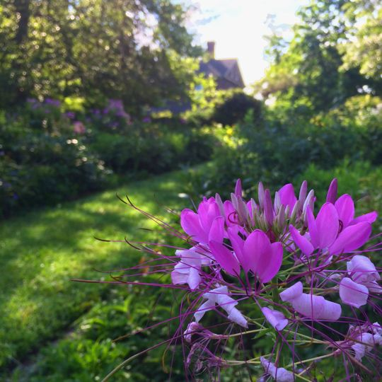 Cleome in July