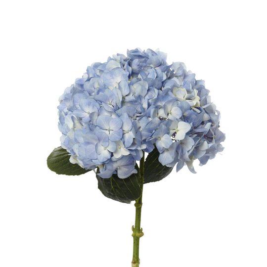 94044f28683a68fe 1529529314 772bfd9879747296 1529529311706 15 Blue Hydrangea