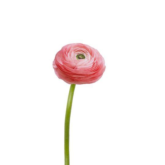 b060c4d53806ec8b 1529529314 5f1bdd06c804a2f0 1529529311711 19 Light Pink Ranunc