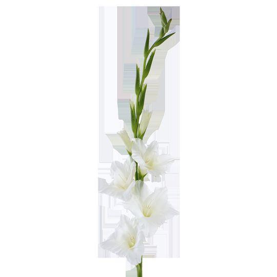 e368e51d9b2c88b0 1529529315 bad4fb3ca1fc4ca2 1529529311717 22 White Gladiolus