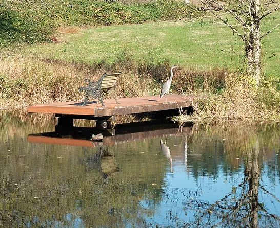 Our resident heron