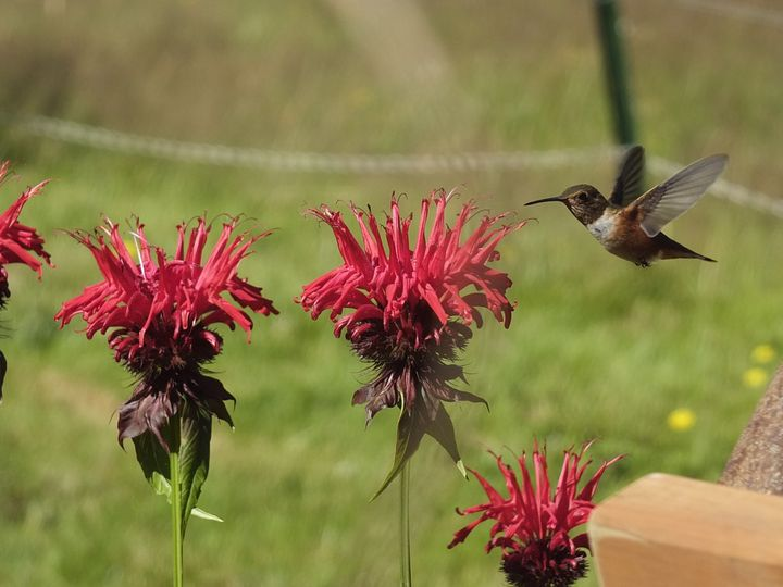 A colibri visiting a flower