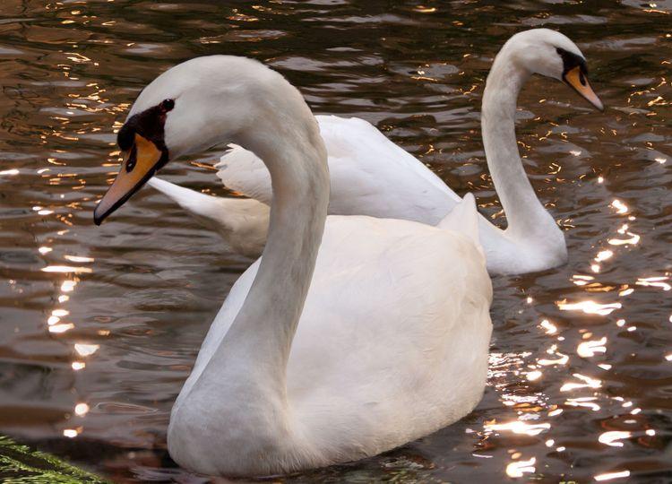 royal swans embassy suites dulles airpor