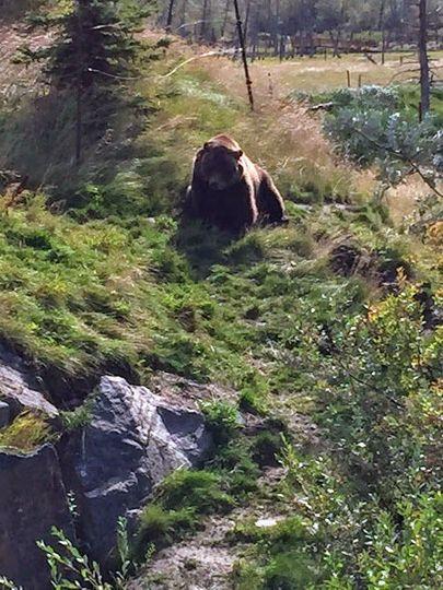 Grizzly Bear, Alaska