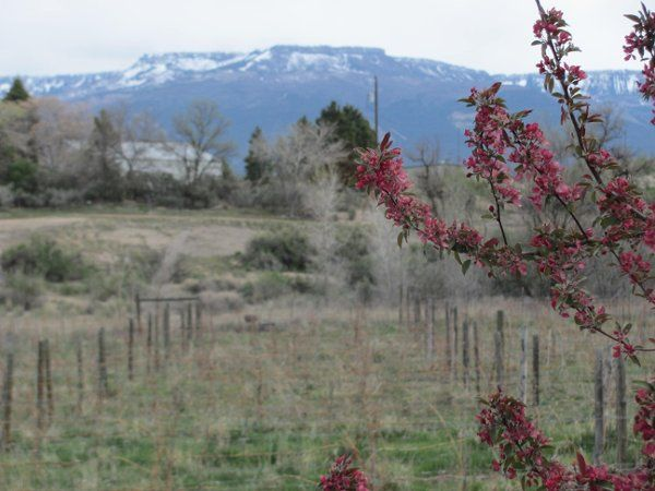 This is a spring view of the Grand Mesa from the Wedding House in Palisade. With the vineyards in...