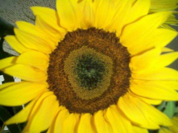 SunFlowerswww perlafarms com