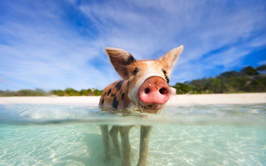 grand isle pig