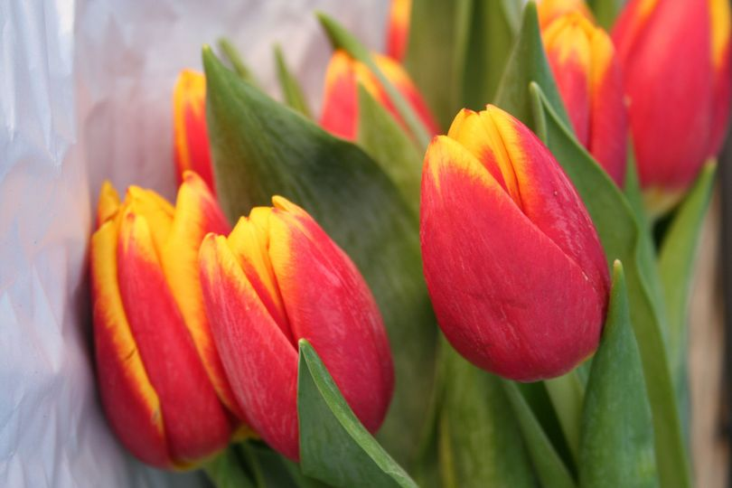 tulipscloseup