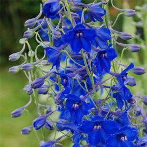 Tmx 1399390539306 Delphinium Volkenfride Chelsea, MA wedding florist