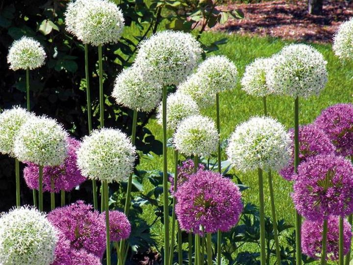 Tmx 1399390549221 Allium Gladiator White Purpl Chelsea, MA wedding florist