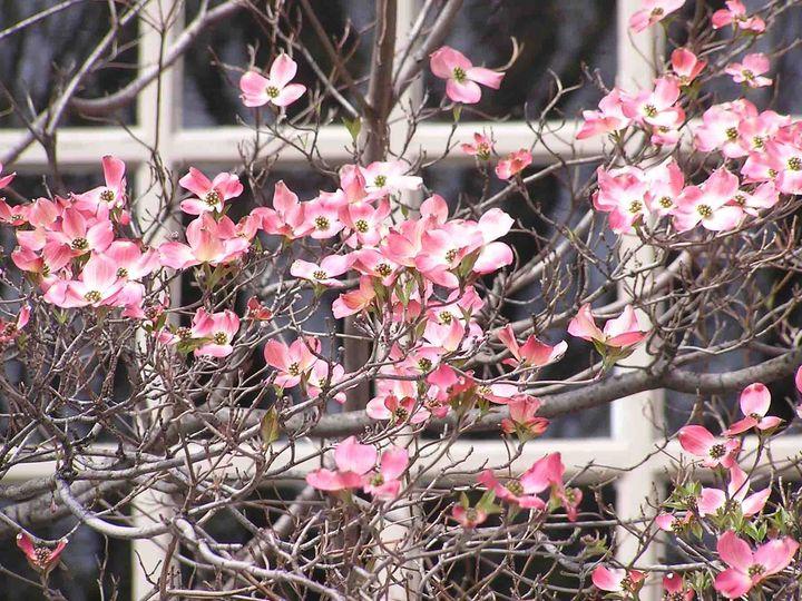Tmx 1399390701182 Dogwood Flowerin Chelsea, MA wedding florist