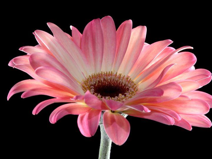 Tmx 1399390718419 Gerberaros Chelsea, MA wedding florist