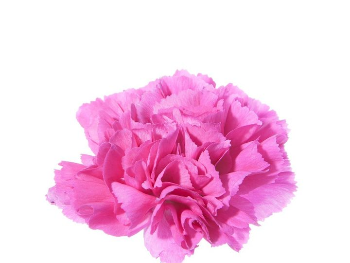 Tmx 1399390722904 Hot Pink Carnation Chelsea, MA wedding florist