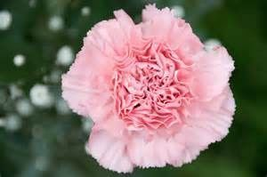 Tmx 1399390727301 Light Pink Carnation Chelsea, MA wedding florist