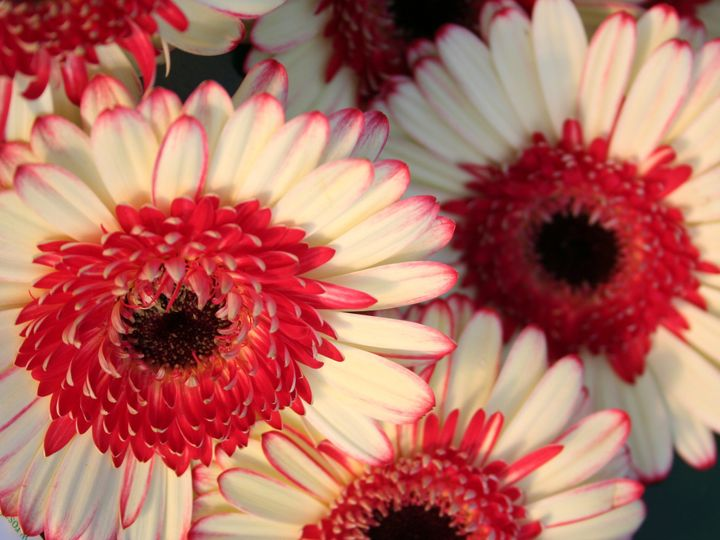 Tmx 1429887191951 Gerber Daisies Closeup2 Chelsea, MA wedding florist