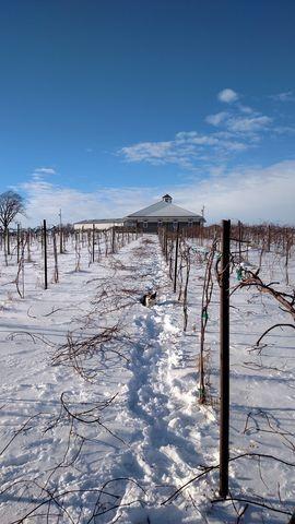 The vineyard at winter