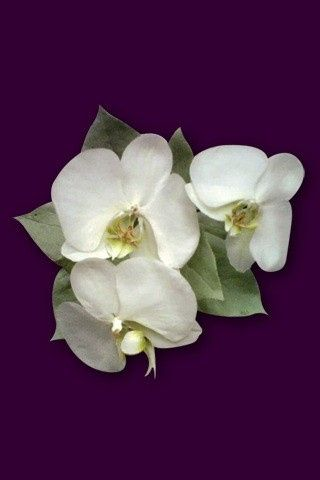 freeze dried orchids