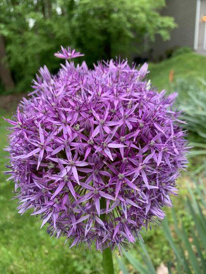 Purple allium in the garden