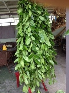 Maile Lei has a whole leafy appearance and is Hawaiian-customary for grooms. Made entirely of fresh...