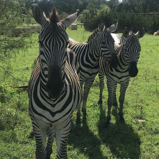 Zebras on site