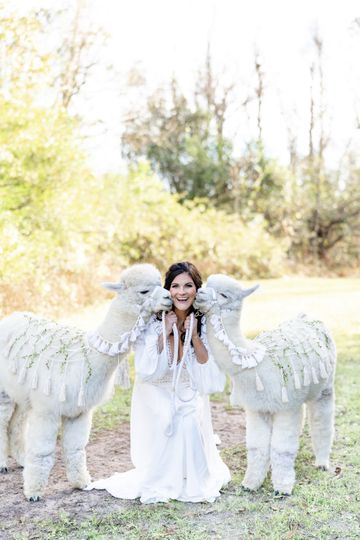 Bride with alpacas