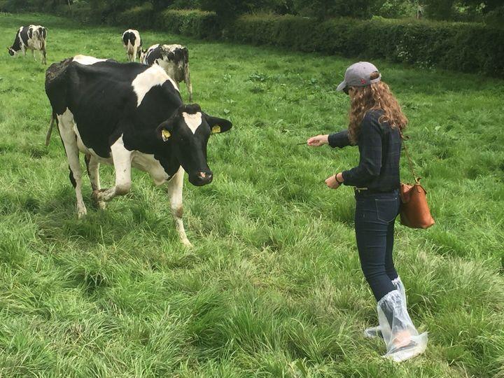 Feeding cows in Ireland