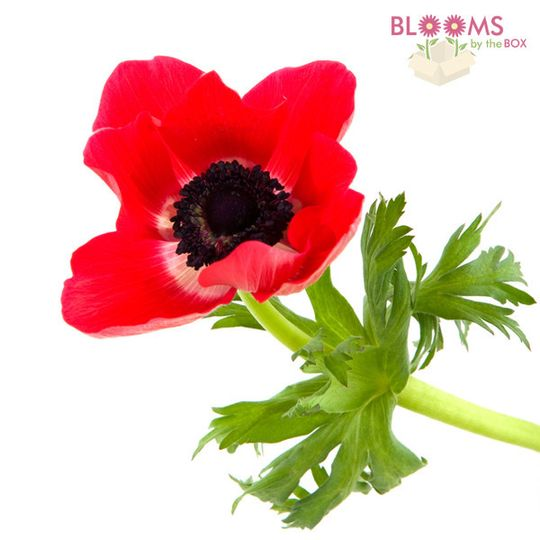 800x800 1414514981152 red anemone