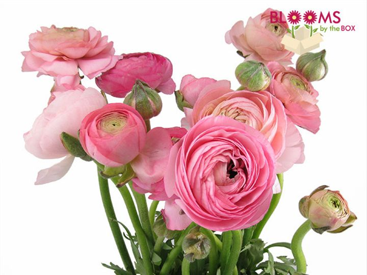 Tmx 1413915988807 Pink Ranunculus Watchung, New Jersey wedding florist