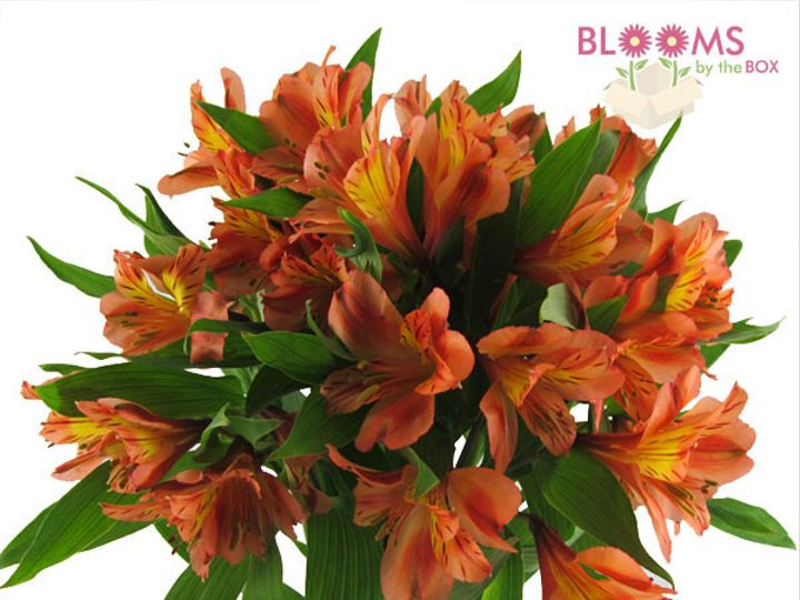Tmx 1413916544390 Orange Alstroemeria Watchung, New Jersey wedding florist