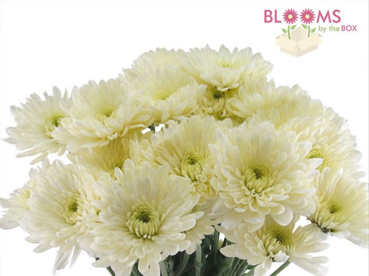Tmx 1413917294136 White Cushion Mum Watchung, New Jersey wedding florist