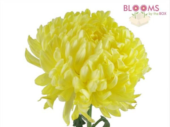 Tmx 1413917298781 Yellow Football Mum   One Stem Watchung, New Jersey wedding florist