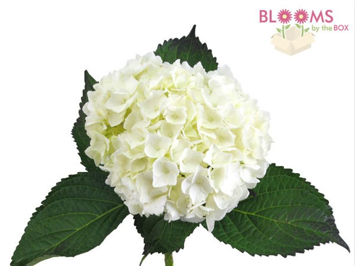 Tmx 1413918855926 Large White Hydrangea Watchung, New Jersey wedding florist
