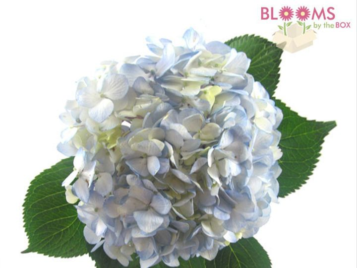 Tmx 1413918857966 Large Blue Hydrangea Watchung, New Jersey wedding florist