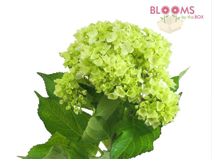 Tmx 1413918860689 Mini Green Hydrangeas Watchung, New Jersey wedding florist