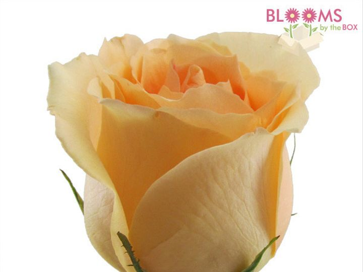 Tmx 1414513627012 Peach Versilla Rose 2 Watchung, New Jersey wedding florist