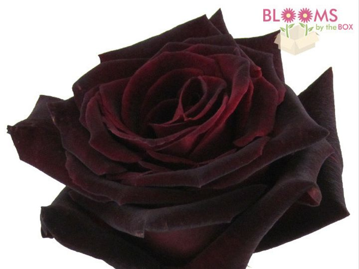 Tmx 1414513633175 Rose Black Baccarra Watchung, New Jersey wedding florist
