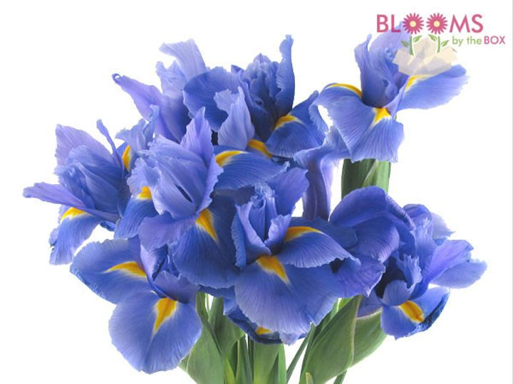 Tmx 1414514217107 Blue Iris Watchung, New Jersey wedding florist
